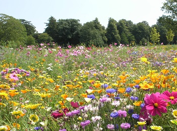 Priory Park meadow flowers