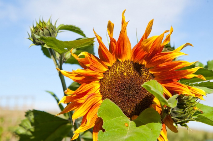 Sunflower, Reigate